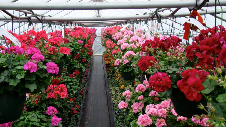 Hanging Geranium Baskets