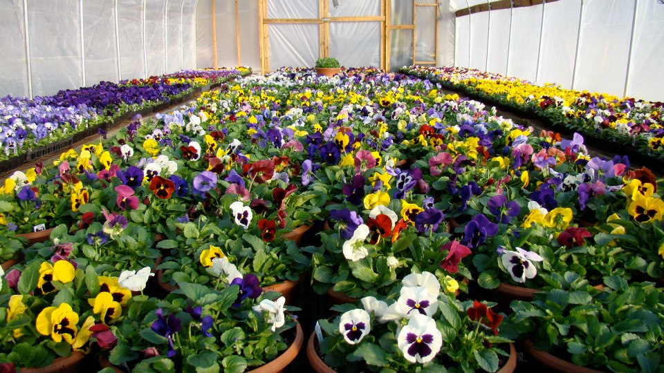 Cheery Pansies