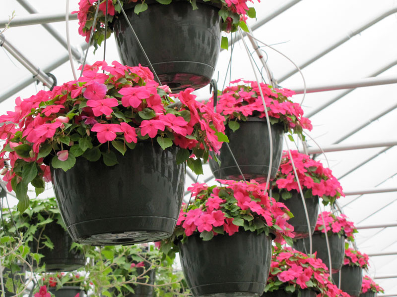 hanging-baskets-of-impatiens