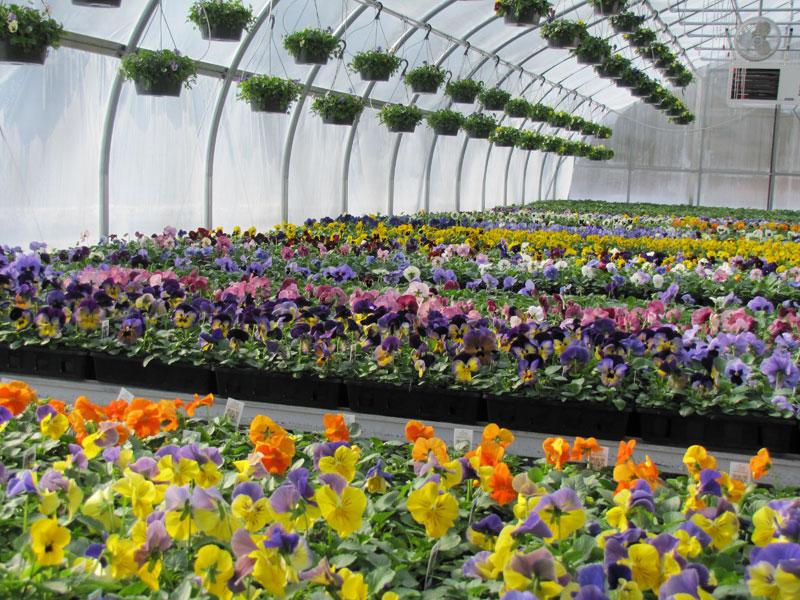 Colorful Pansies