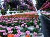 Geraniums & Annuals