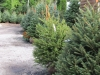 Fraser Fir, Serbian Fir, Norway Spruce