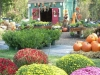 fall-mum-display_0