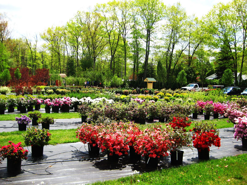 nursery-yard-with-azaleas