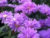 Pink Asters