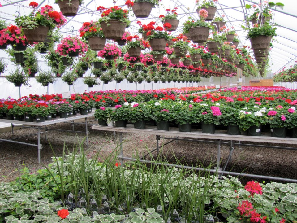 Geraniums in Greenhouse #7