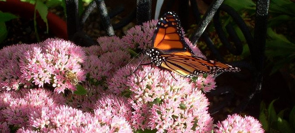 sedum-with-butterfly-slider