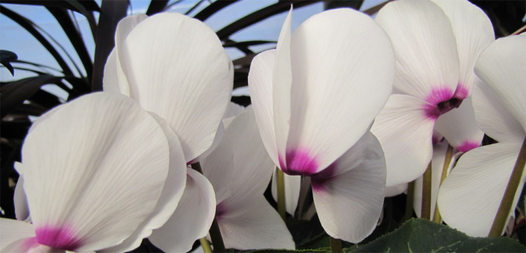 cyclamen-featured-slider